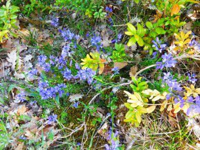 fleurs sur le GR99 Verdon