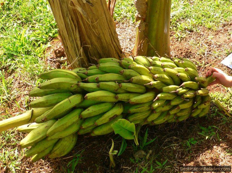 musée de la banane à Sainte Marie, Martinique