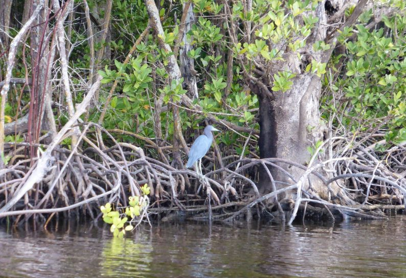 Mangrove Wilderness Boat Tour, Everglades