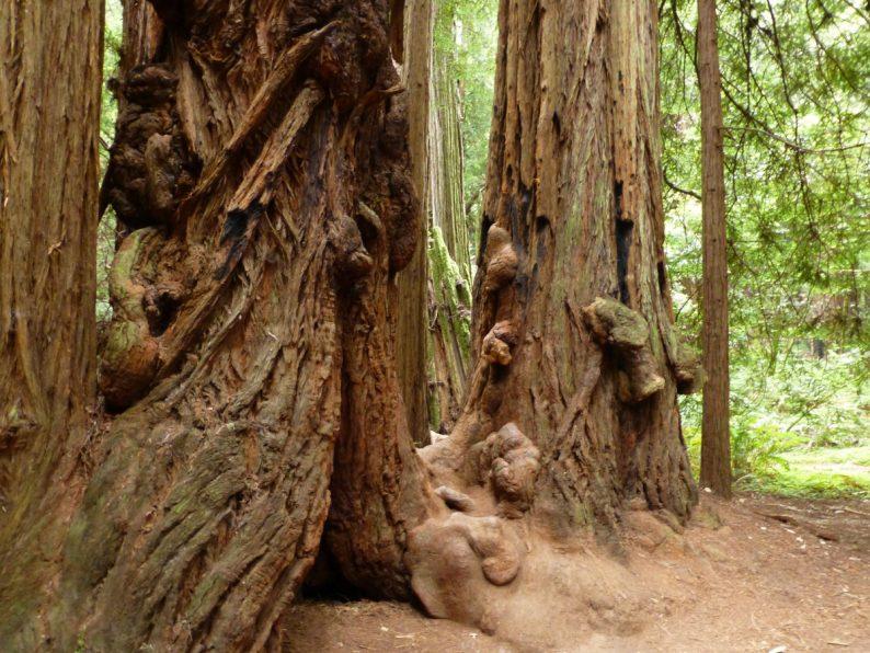 Muir Woods, Californie
