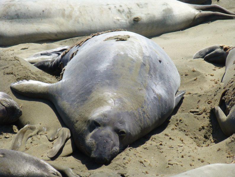 Piedras Blancas Elephant Seals Rookery
