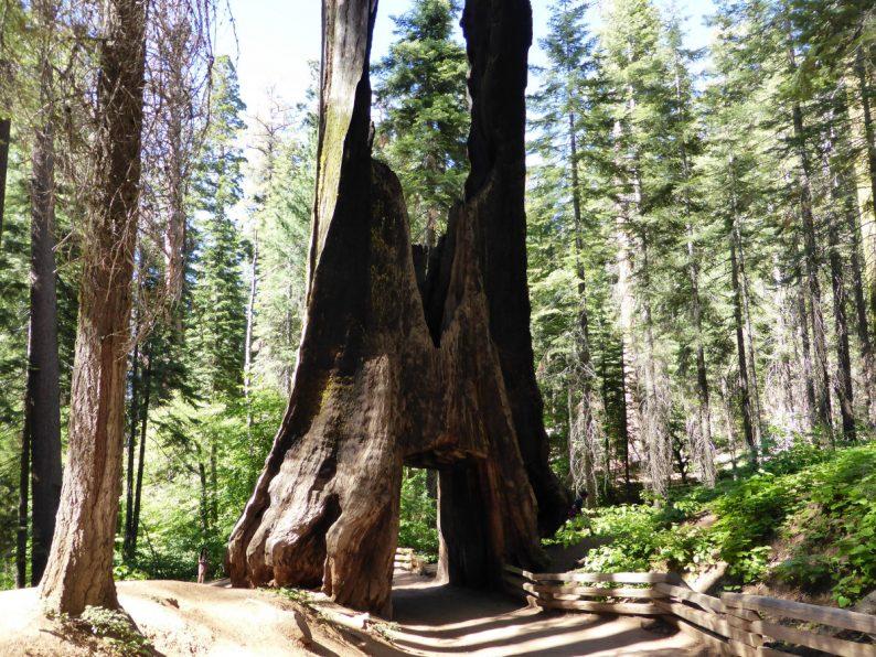 Tuolumne Grove, Yosemite Californie