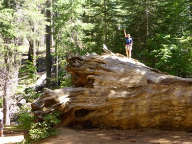 Tuolumne Grove, Yosemite Californie