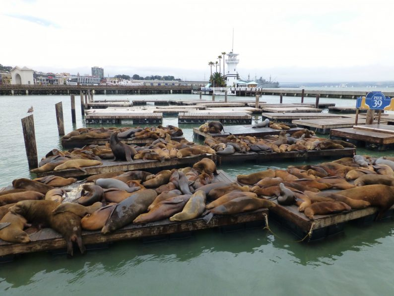 sea lions pier 39, San Francisco