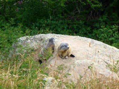 Marmottes au lac d'Allos